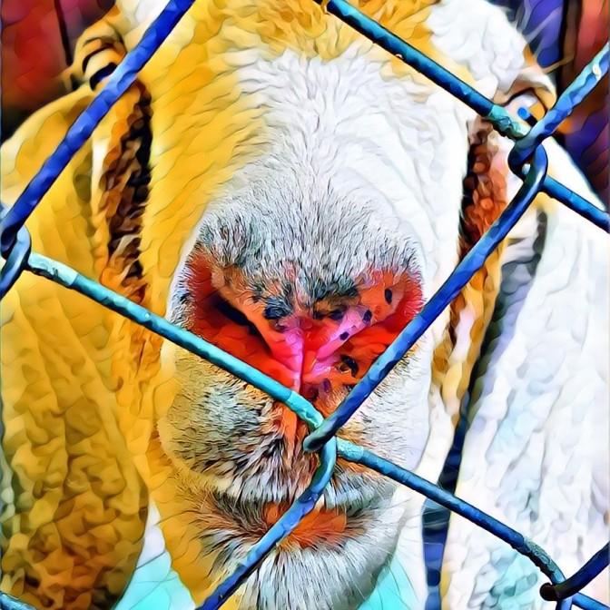 Prison Goat